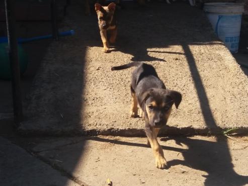 Alsatian x German Sheppard puppy's