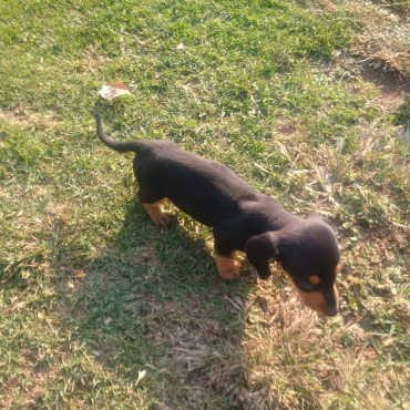 Datchound Minature for sale