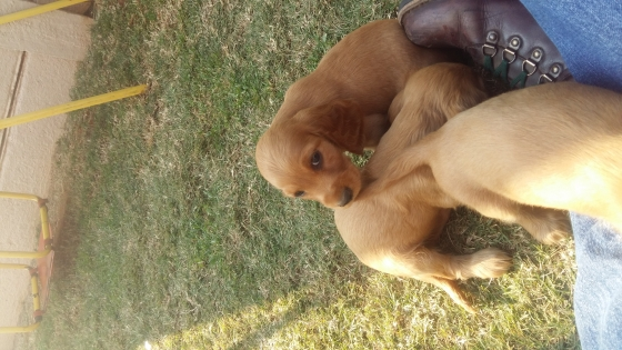 Cocker spaniel pups for sale
