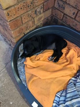 Labrador x Boxer puppies for sale