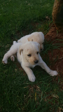 Golden retriever crossed labrador pups