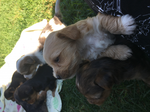 Pocket to normal size Yorkshire Terrier Puppies for sale