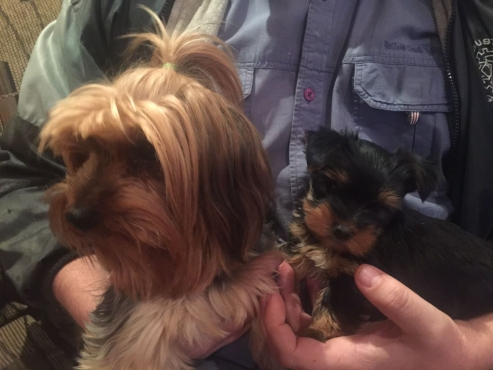 Yorkshire Terrier for Sale (Yorkie) - Male