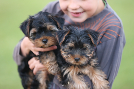 male Yorkie puppies for sale. Ready to go to loving home