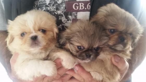 2 x beautifull male pikanese puppies
