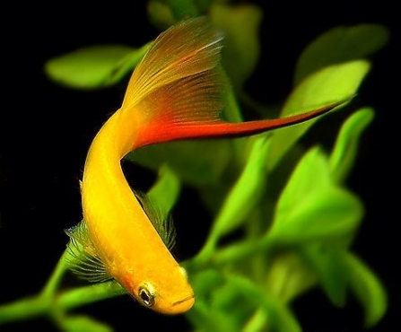 swordtail fish pets for sale