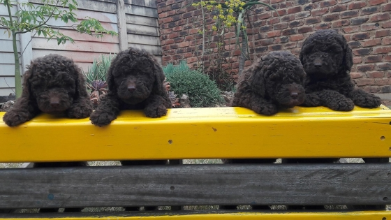 Chocolate labradoodle pups