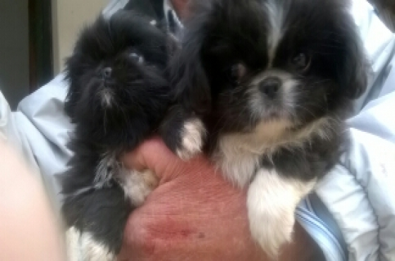 Miniature pekingese puppies