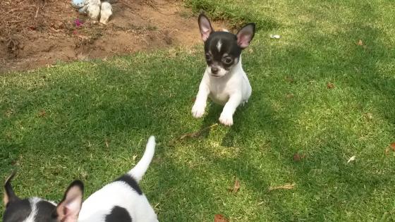 Beautiful and cute Chihuahua girl