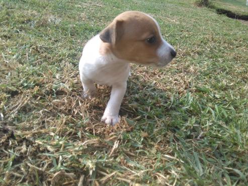 Minature Jack Russel puppies
