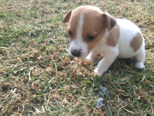 Minature Jack Russel puppies