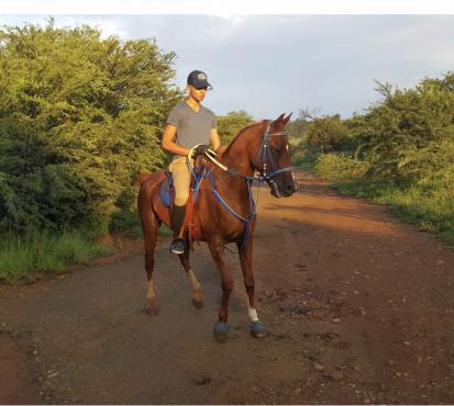 Arabian gelding