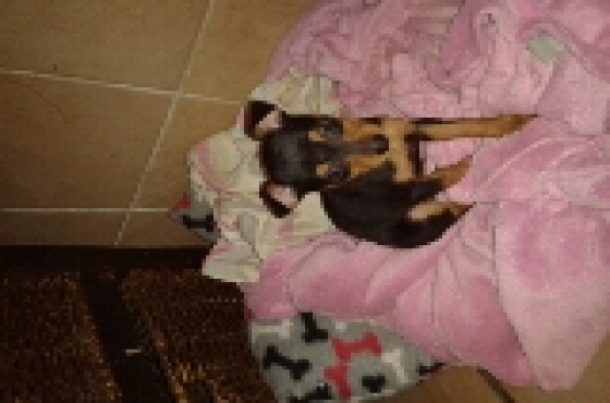 Miniature Doberman Pincher puppy