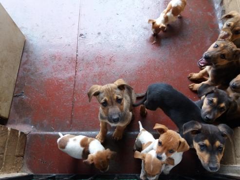 short legg Jack Russel Terriers