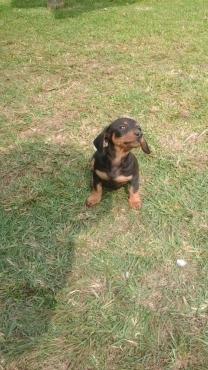 Daschund pupies for sale