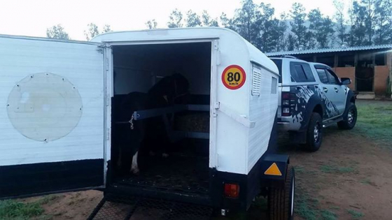 3 bert miniature horse horsebox
