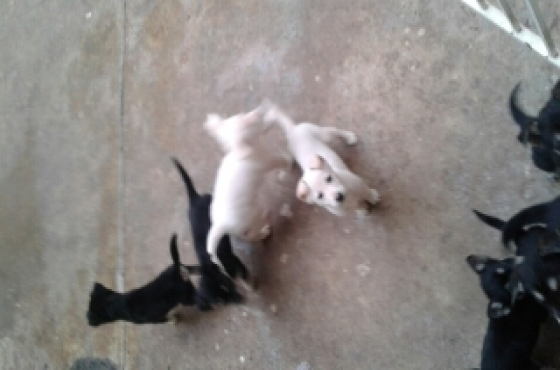 huskey cross swiss shepard puppies
