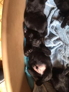 Scottie puppies for sale