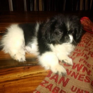 18 week old Pekinese Puppies