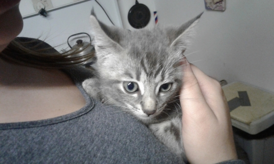 Light Grey Kitten for sales