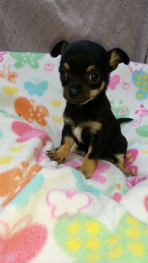 Purebred Chihuahua puppy available