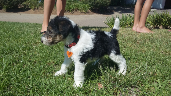 KUSA registered Wire Hair Terrier