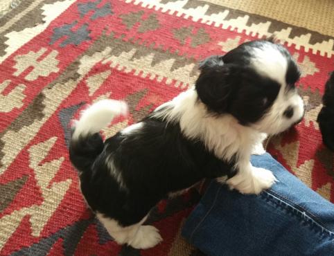 Shih Tzu Puppies for sale, Pietermaritzburg.