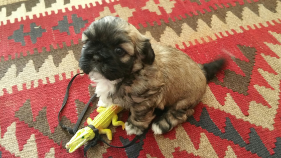 Shih Tzu Puppies for sale, Pietermaritzburg.
