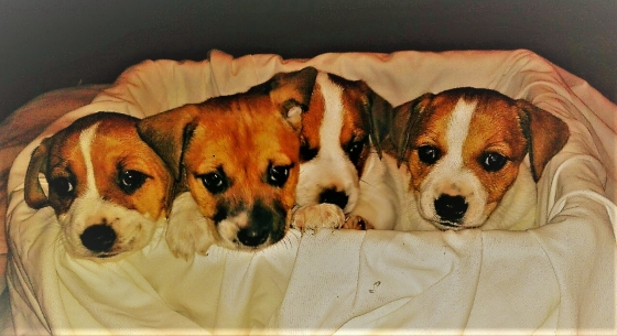Jack Russel Puppy (Male)
