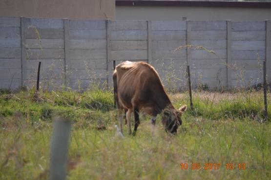 Cattle Gersy Kow for sale (milking morning and evenings)