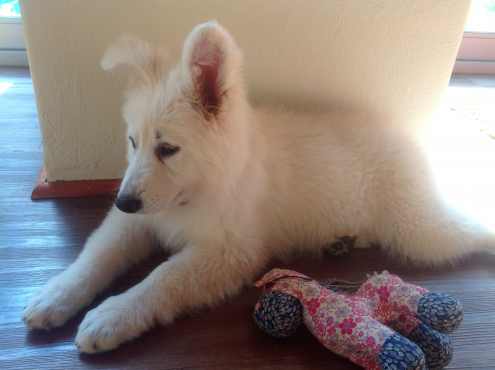 KUSA Registered White Swiss Shepherd Female Puppies