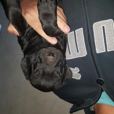 Cute little German Short hair pointer X  puppies