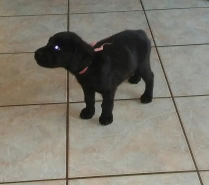 Adorable Black Femal Labrador Puppy