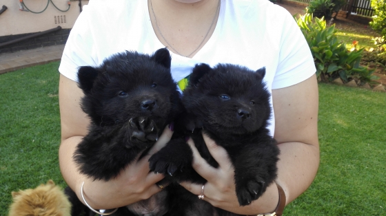 Pure Chow Puppies