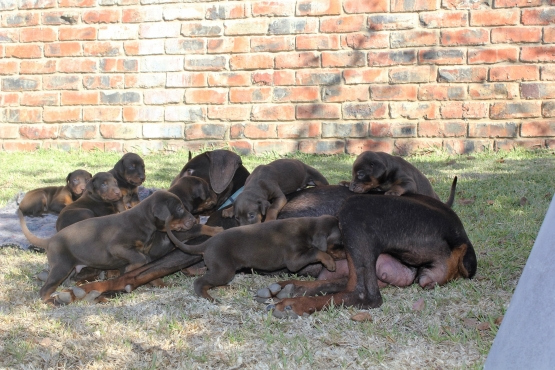 Large breed Doberman puppies for sale