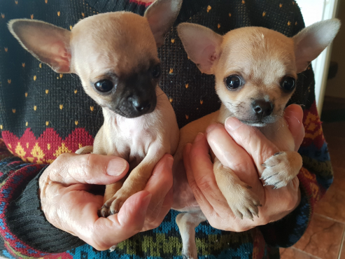 Chihauhau puppies for sale