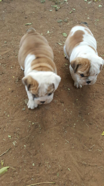 Bull Dog Puppies