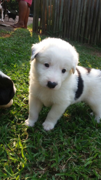 Border Collie Puppies (Sheep Puppies) For Sale