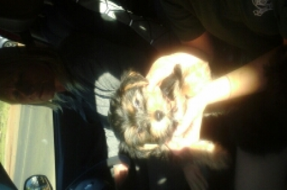 4x male yorkie puppies for sale