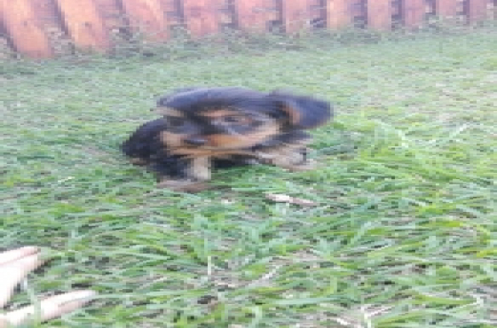 4x female yorkie black and tan for sale