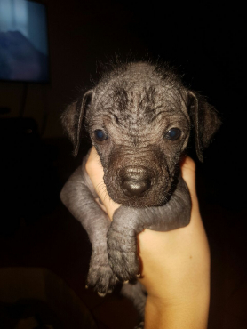 Chinese Crested Haitless & Powder puff puppies for sale