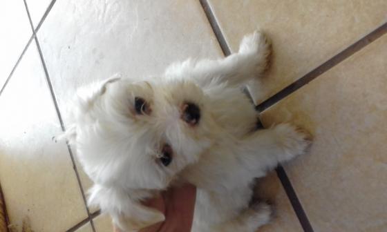 Maltese poodle puppys