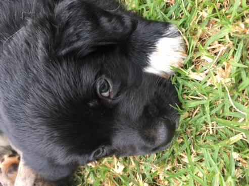 Australian Shepherd Labrador puppies