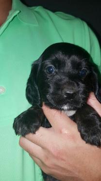 Spaniel black puppies