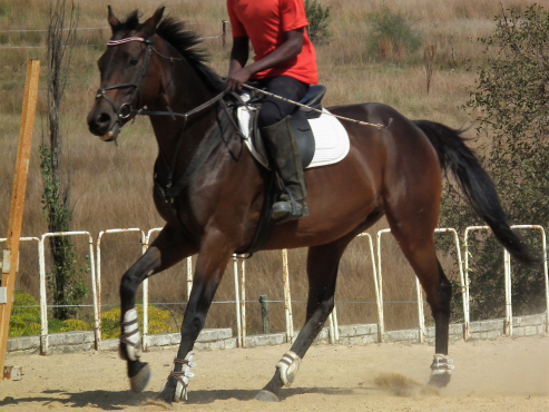 Ideal junior horse or nervous rider