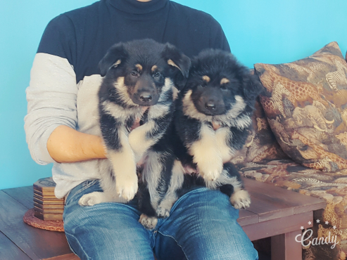 GERMAN SHEPERD PUPS