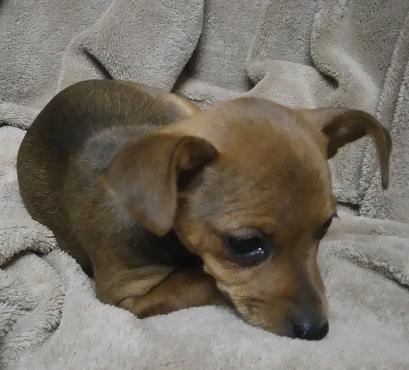 Min Dobermin Pincher Puppies