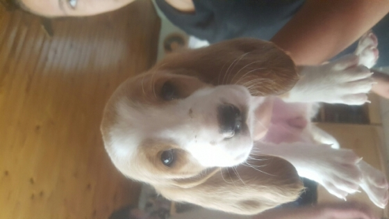 basset puppies for sale