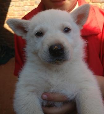 Alaskan Shepherd Puppies for Sale