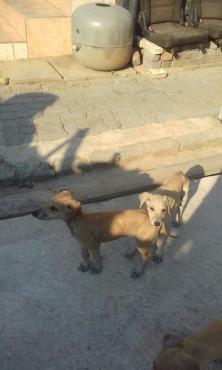 Selling saluki puppies